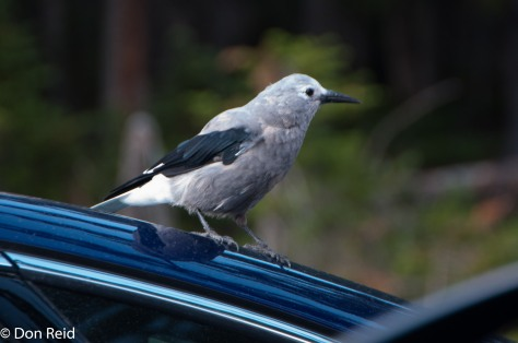 Clark's Nutcracker, Bow Summit