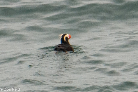 Tufted Puffin, at sea - the year's highlight!