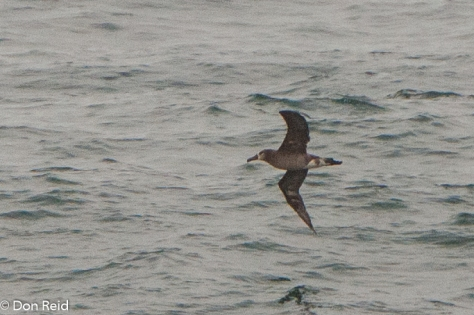 Black-footed Albatross, at sea