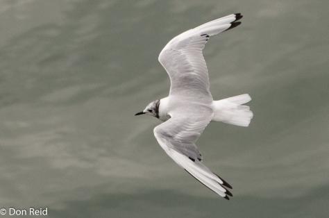 Bonaparte's Gull, Juneau