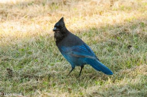 Steller's Jay, Skagway