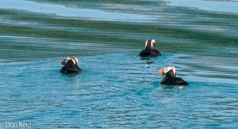 Tufted Puffin, Glacier Bay