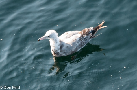 Mew Gull (Juvenile), at sea