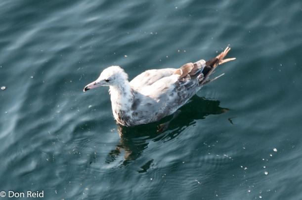 Mew Gull (Juvenile), at sea