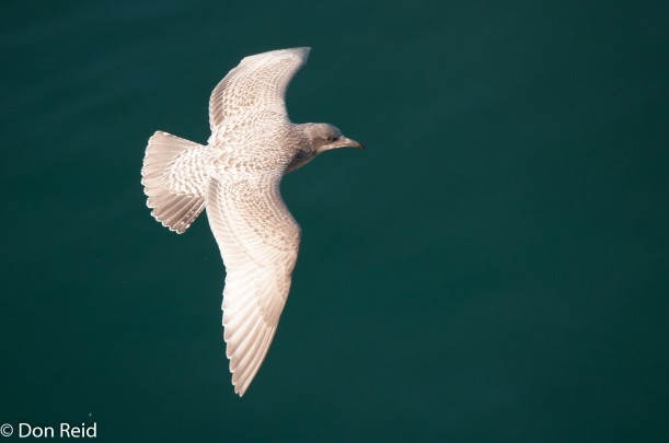 Glaucous-winged Gull (Juvenile), at sea