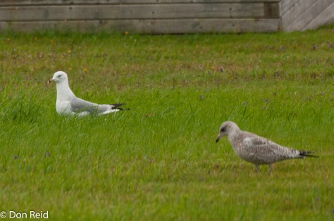 Ring-billed Gull and probable juvenile, Baddeck Nova Scotia