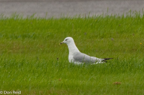 Ring-billed Gull, Baddeck Nova Scotia