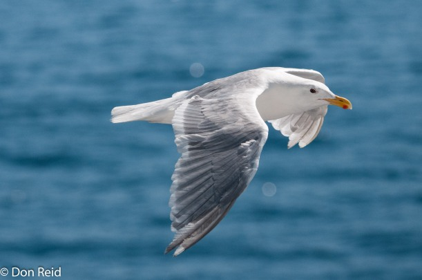 Glaucous-winged Gull, Seattle