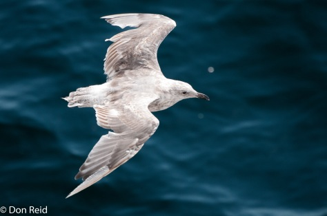 Glaucous-winged Gull (Juvenile), Seattle