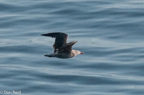Heermann's Gull, at sea