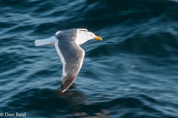 Herring Gull, at sea