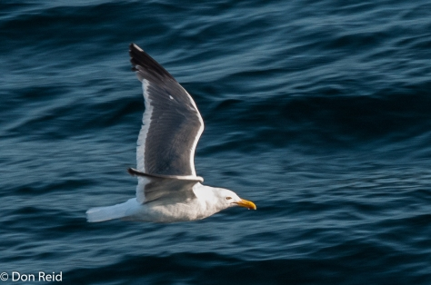 Herring Gull, at sea