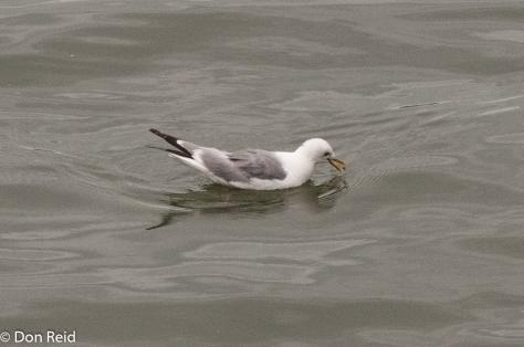 Mew Gull, Juneau
