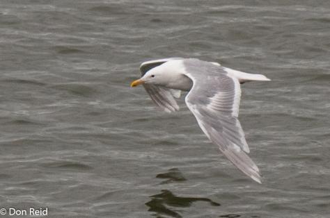 Glaucous-winged Gull, Juneau