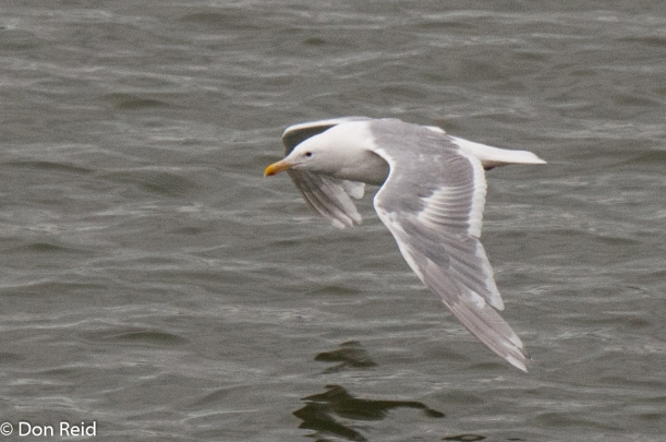 Glaucous-winged Gull, Juneau
