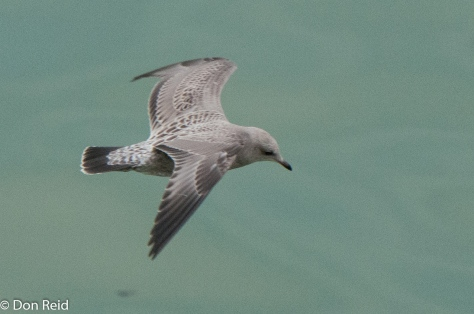 Thayer's Gull (Juvenile), Skagway