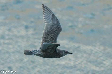 Mew Gull (Juvenile), Glacier Bay
