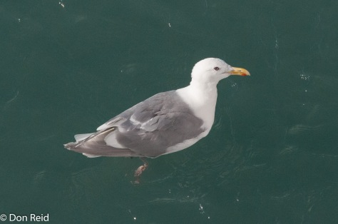 Glaucous-winged Gull, Glacier Bay