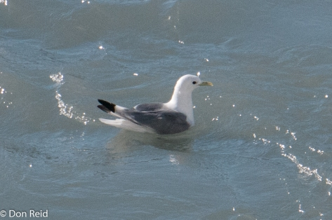 Black-legged Kittiwake, Glacier Bay