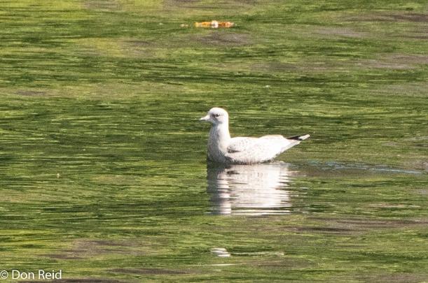Ivory Gull, Ketchikan