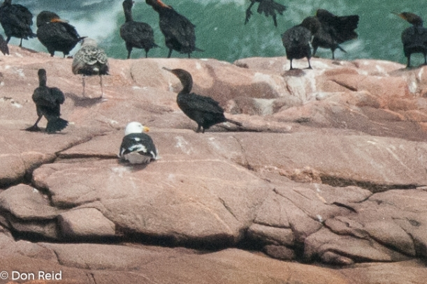 Greater Black-backed Gull amongst the Cormorants, Cape Breton