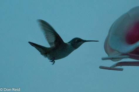 Ruby-throated Hummingbird (through a window)