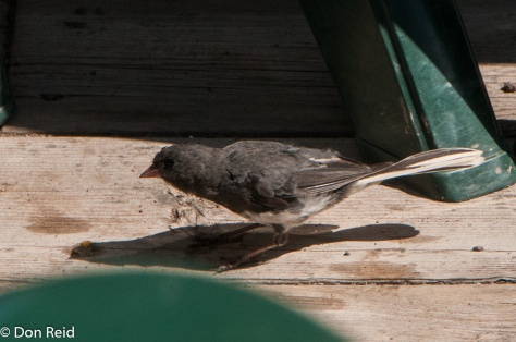 This Dark-eyed Junco joined us at lunch in Fundy National Park