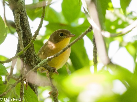 Possible Mourning Warbler