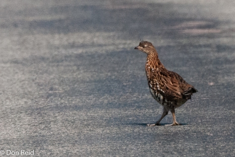 Ruffed Grouse (why did it cross the road?)