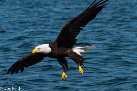 Bald Eagle approaching