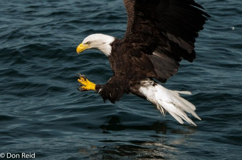 A split second before the fish is grabbed by those fierce talons
