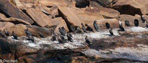 Cormorants - Bird Islands