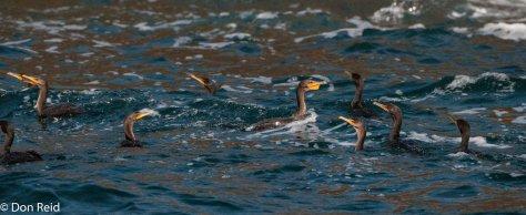 Cormorants at Bird Islands