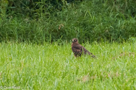 Northern Harrier on the farm