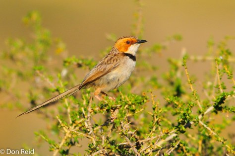 Rufous-eared Warbler, Orange River Lodge