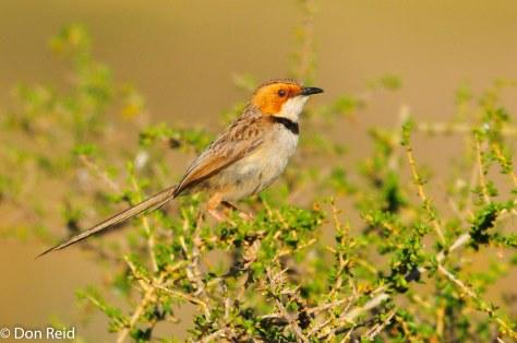 Rufous-eared Warbler, Orange River Lodge