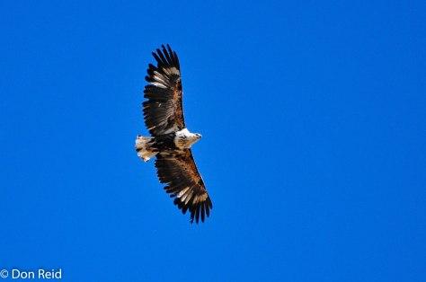 African Fish-Eagle (Juvenile), Orange River Lodge