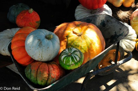 Array of pumpkins at the Saturday market, Prince Albert