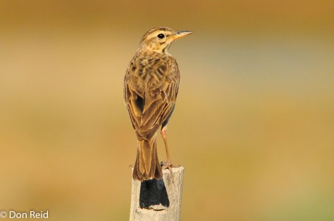 African Pipit, Prince Albert