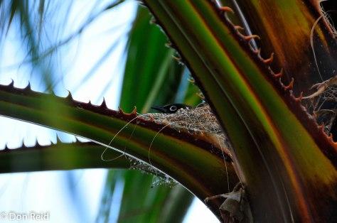 Cape Bulbul on nest, Prince Albert
