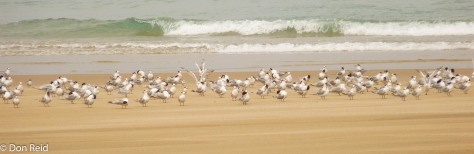 Mixed Terns, Lighthouse beach Barra
