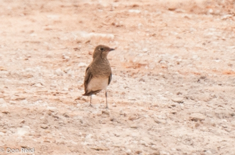 Collared Pratincole was a welcome sighting along the road