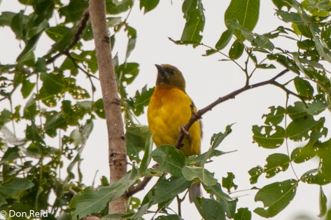 Olive-headed Weaver, Panda Woodland