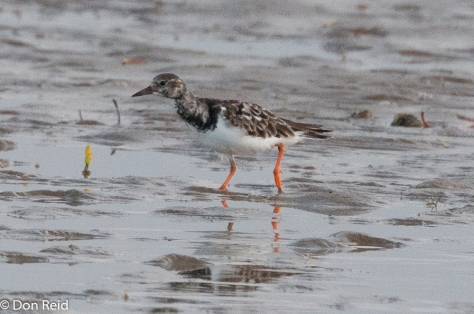 Ruddy Turnstone, Barra mudflats