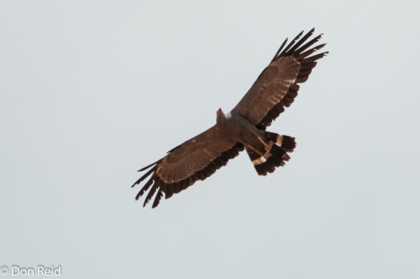 African Harrier-Hawk cruising above the Luvuvhu River