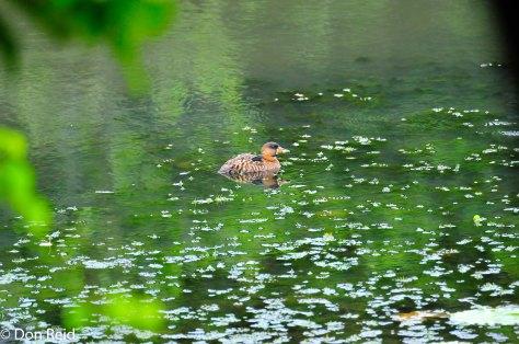 White-backed Duck, Muirhead dam