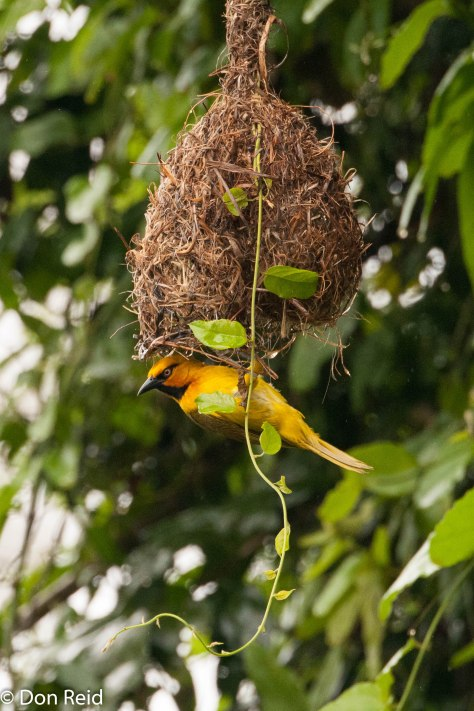 Spectacled Weaver at his nest over the Levuvhu River