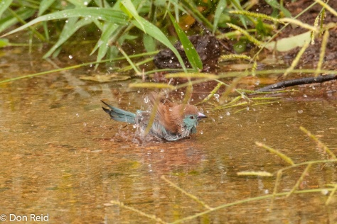 Blue Waxbill bathing