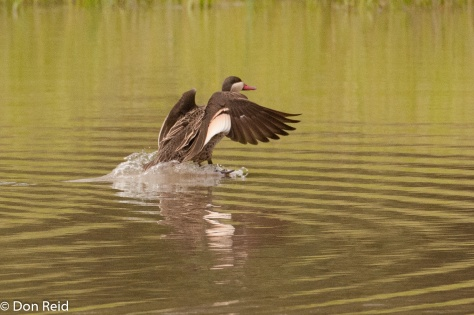 Red-billed Teal, Nwambiya