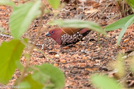 Pink-throated Twinspot, Moz border KNP